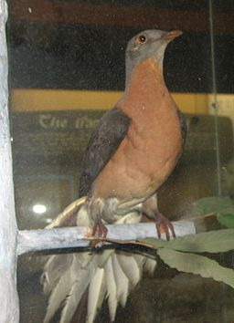 A specimen of the  passenger pigeon, (Ectopistes migratorius), at Cincinnati Zoo and Botanical Garden.  Passenger pigeons once numbered in the billions. Overhunting and habitat loss led to a catastrophic decline within 20 years, and extinction by 1914.