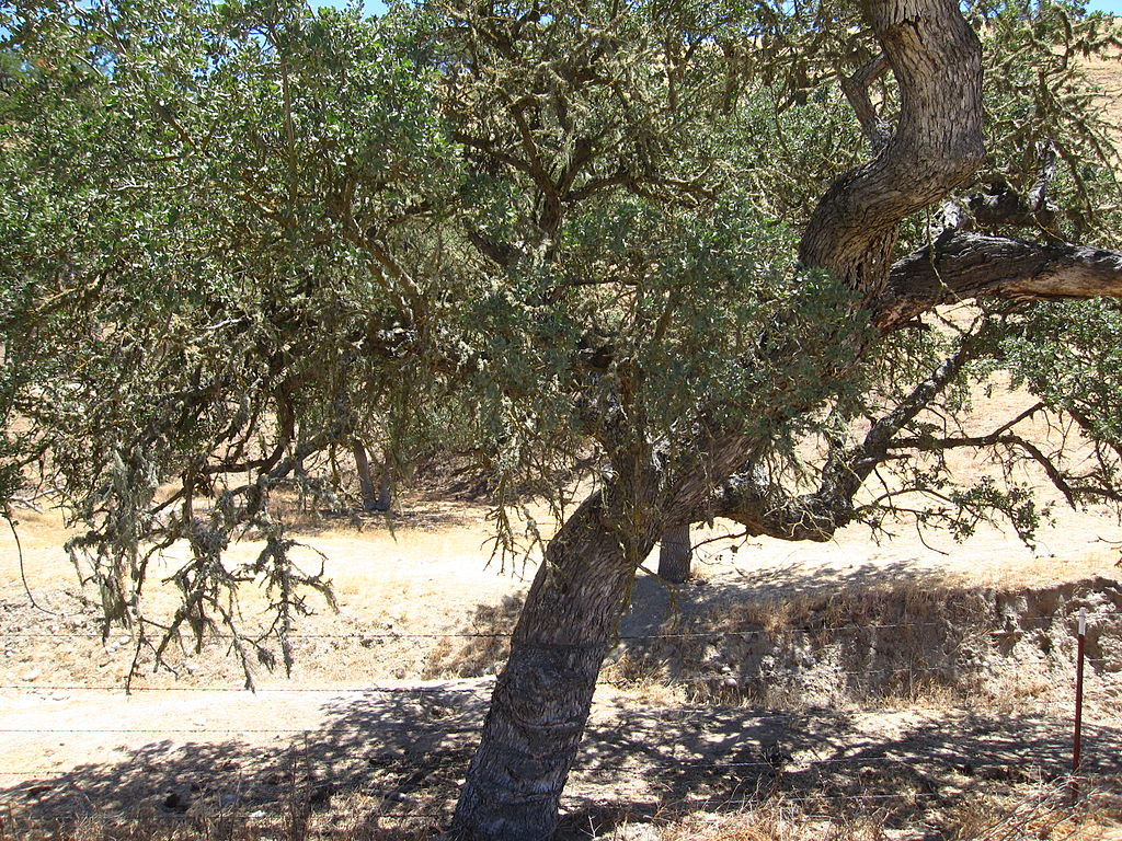 Coast Live Oak (Quercus agrifolia) — off Highway 101 in California. Though oak woodlands sustain more wildlife species than any other landscape, only 4 percent of the state's woodland habitats are protected. The vast majority remain in private hands. (Photo: Peter O'Malley)