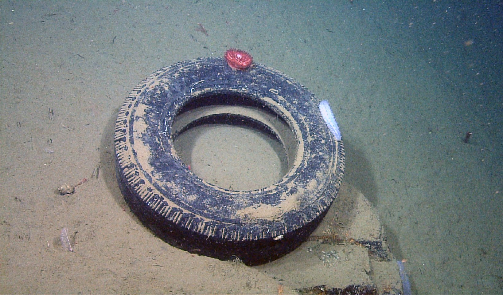 A discarded tire sits on a ledge 2,850 feet below the ocean surface in Monterey Canyon. (MBARI)