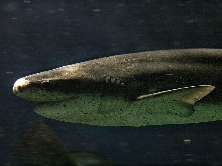 Fascinating Facts About Sevengill Sharks