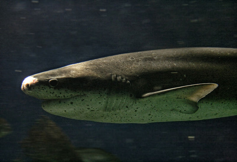 Sevengill Sharks are the top predators in San Francisco Bay.  Photo by