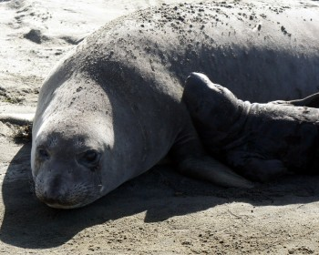Elephant seal mom