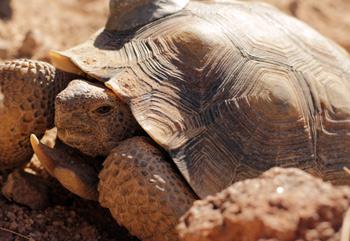 A desert tortoise in the Mojave Desert. (Josh Cassidy/KQED)