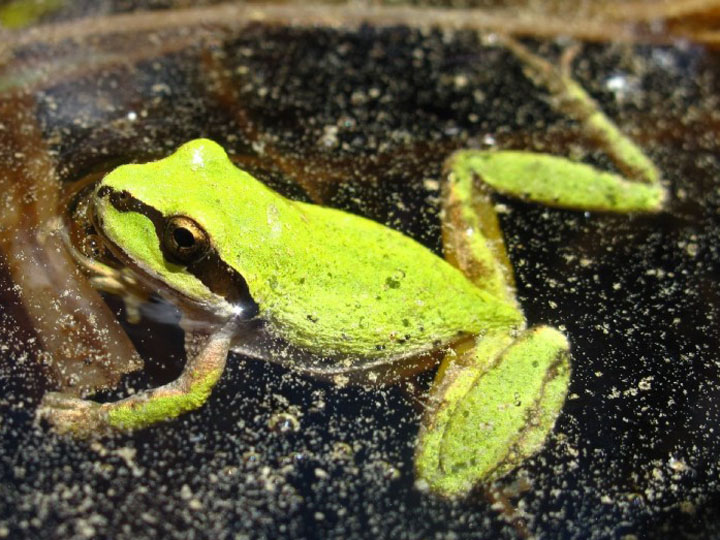 A Pacific chorus frog (Pseudacris regilla) in Yosemite National Park. (Photo: USGS)
