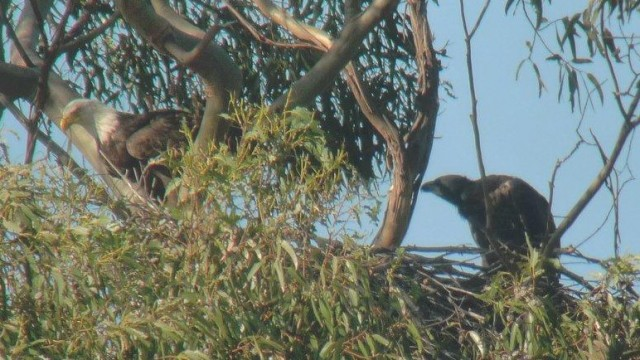 Parent and juvenile Bald Eagles on their nest at Lake Chabot. Photo by Mary Malec