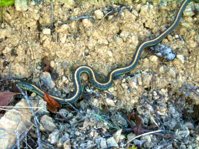 The Diablo-range subspecies aquatic garter snake (T. a. zaxanthus).
