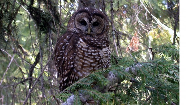 Wildlife Officials Consider Killing Barred Owls to Save Spotted Owls