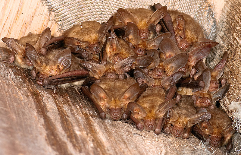 A pallid bat colony like this lives in the Green Barn at Sunol Regional Park.  Pallid bats feed on the ground and commonly eat insects like crickets.  Photo by