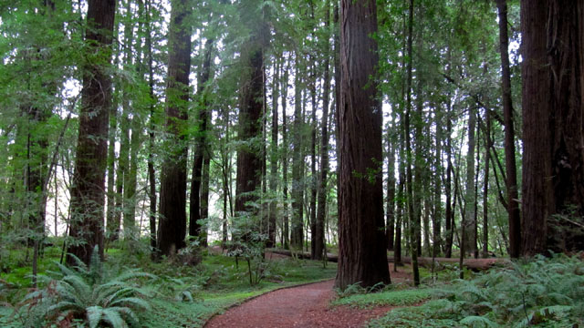 California's Redwoods May be Benefiting From Climate Change