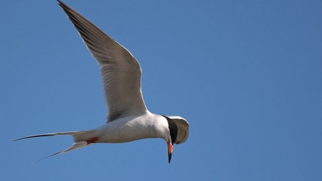 Forster's Terns are commonly seen in the Bay Area fall through spring.  Photo by Ingrid Taylar, Wikimedia Commons.