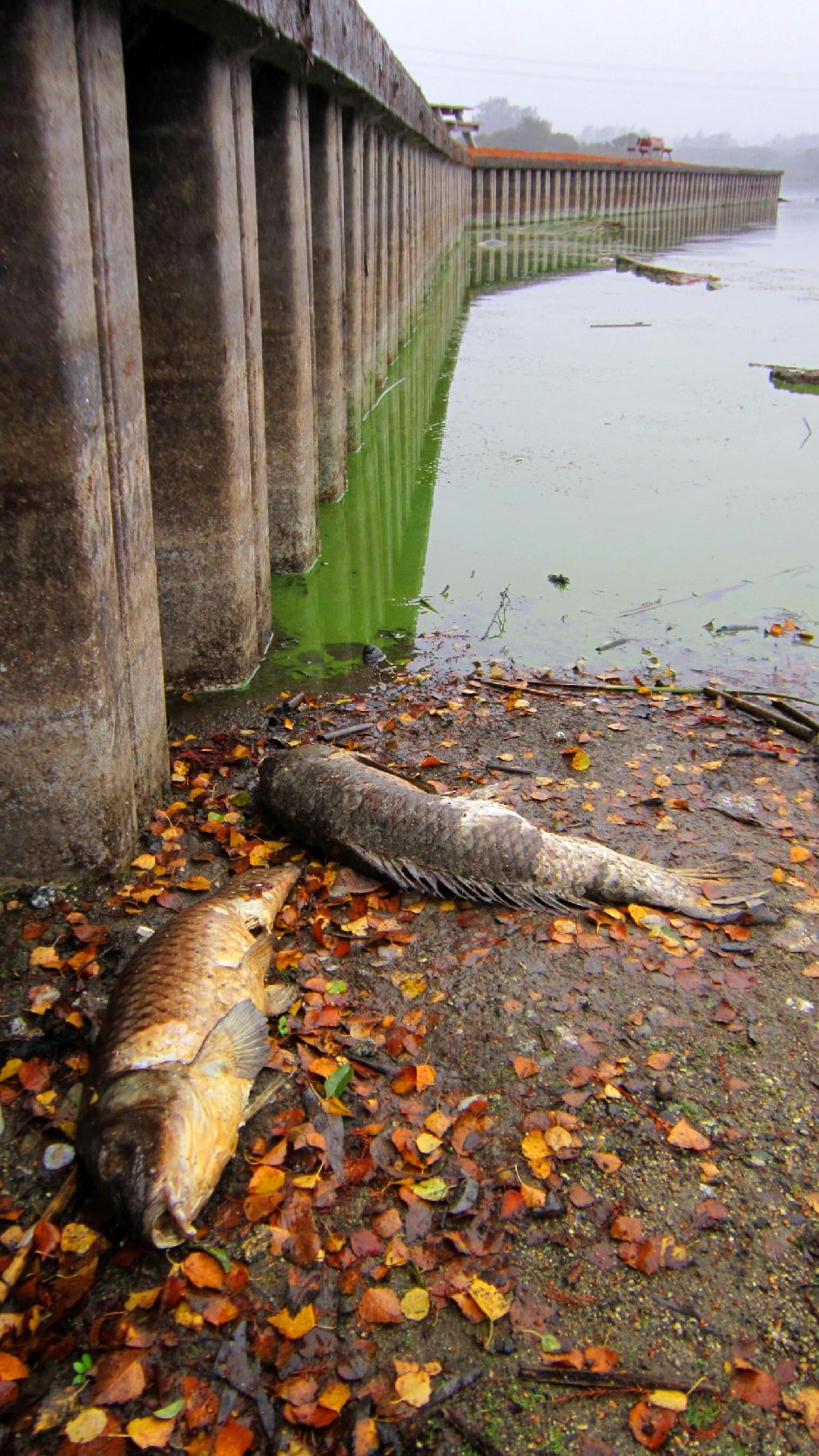 Carp suffocated by an algal bloom in Pinto Lake. (Image: Robert Ketley)