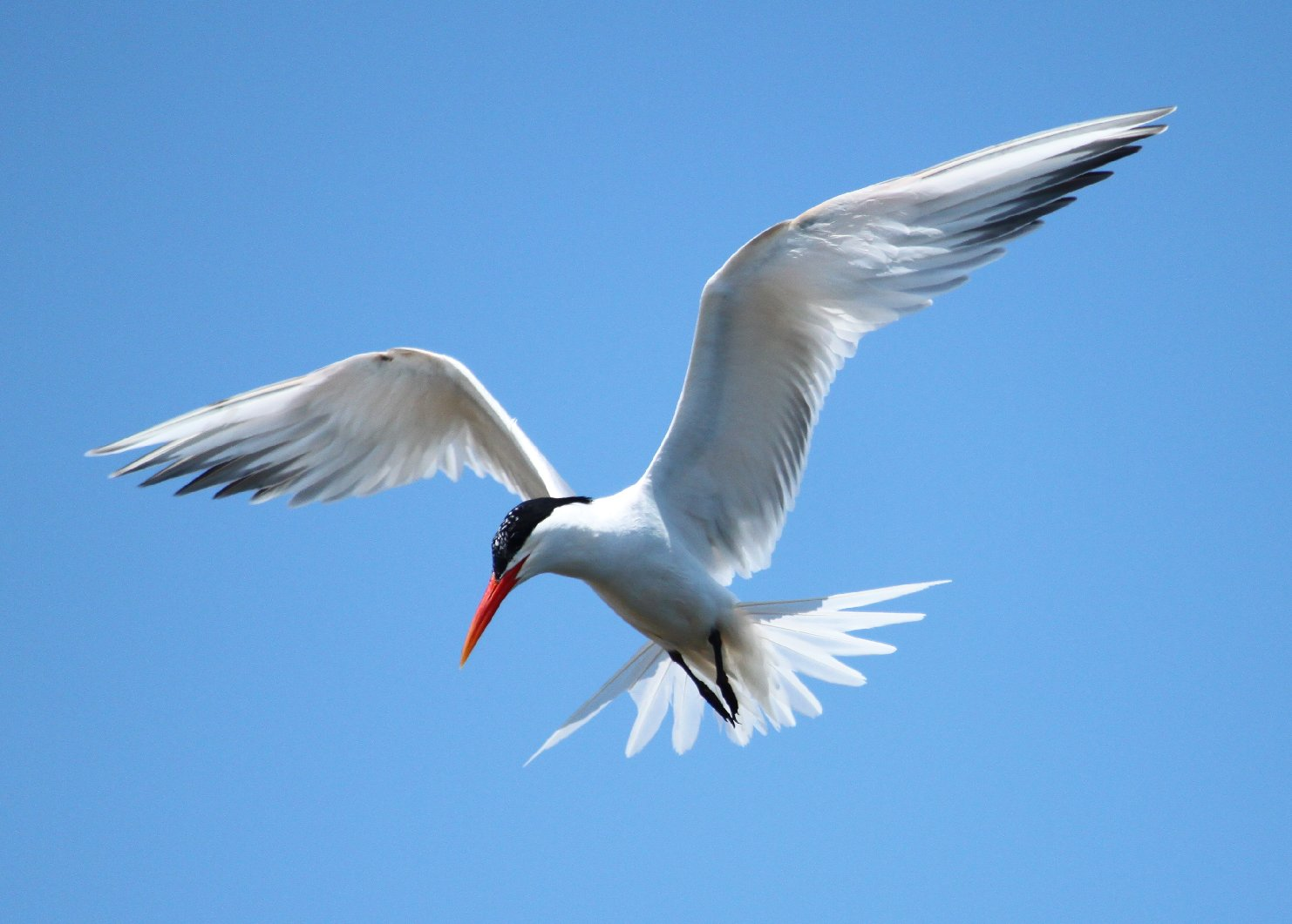 Elegant Terns disperse north from their breeding grounds and can be seen in the summer and fall.  Photo by Regular Daddy, Wikimedia Commons.
