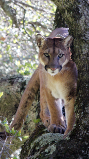 GPS tracking collars shed light into the mysterious lifestyles of this apex predator. Photo by Paul Houghtailing, Santa Cruz Puma Project.