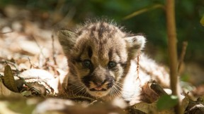 In June of 2013, puma 38F gave birth to a litter of three kittens. Photo by Paul Houghtaling/Santa Cruz Puma Project