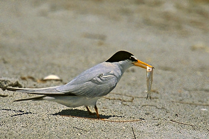 Endangered California Least Terns nest in the Bay Area, the northern edge of their range. Photo by Regular Daddy, Wikimedia Commons.