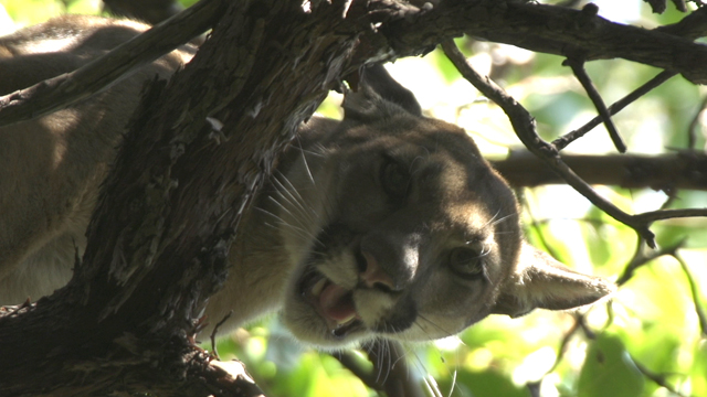 Science on the SPOT: Chasing Pumas