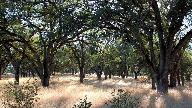 blue oak forest
