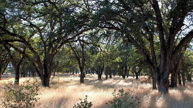 blue oak forest