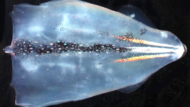 A dissected female squid mantle showing iridescent and white stripes.