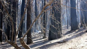 Rim Fire-damaged area. (Photo: Mike McMillan - USFS)