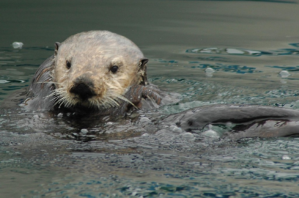 A sea otter swims in Monterey Bay, California. Image Credit: Tania Larson/USGS