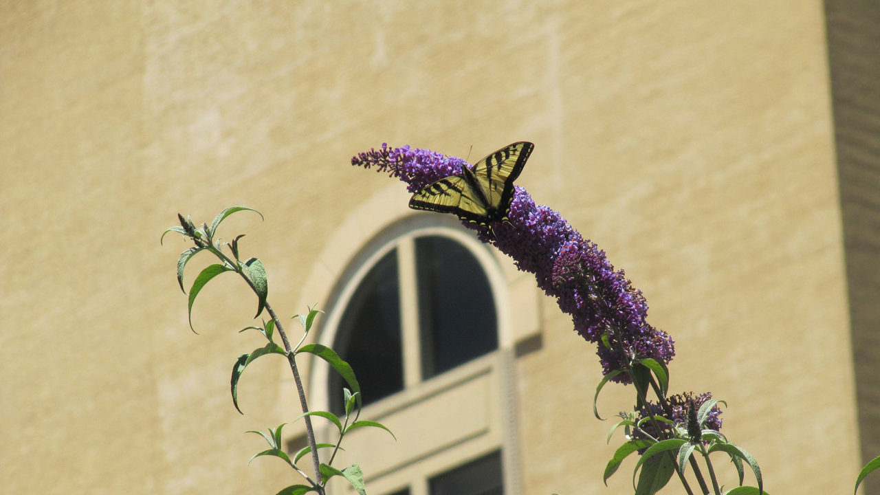 A tiger swallowtail lands in Yerba Buena gardens. (Molly Samuel/KQED)
