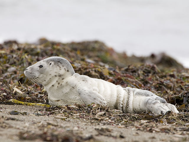 Harbor seal pup development could be impacted by chemicals entering the Bay, according to a new study to be released next week.  Photo by Mike Baird, Wikimedia