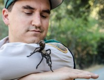Naturalist Eddie Willis at Black Diamond Mines handles a male tarantula found wandering the park.  Photo by Robert Kanagaki, EBRPD