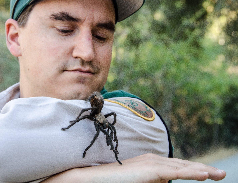 Naturalist Eddie Willis at Black Diamond Mines handles a male tarantula found wandering the park.  Photo by Robert Kanagaki, EBRPD