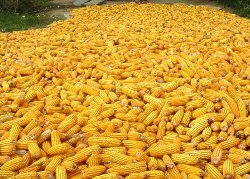 Right now it takes a lot of corn to make a gallon of gas.  Image courtesy of Wikimedia Commons.