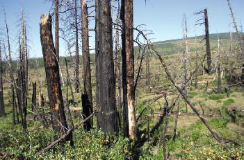 A California forest burned 10 years ago in the Cone Fire is replaced with shrubland. (Photo; Malcolm North/USFS)