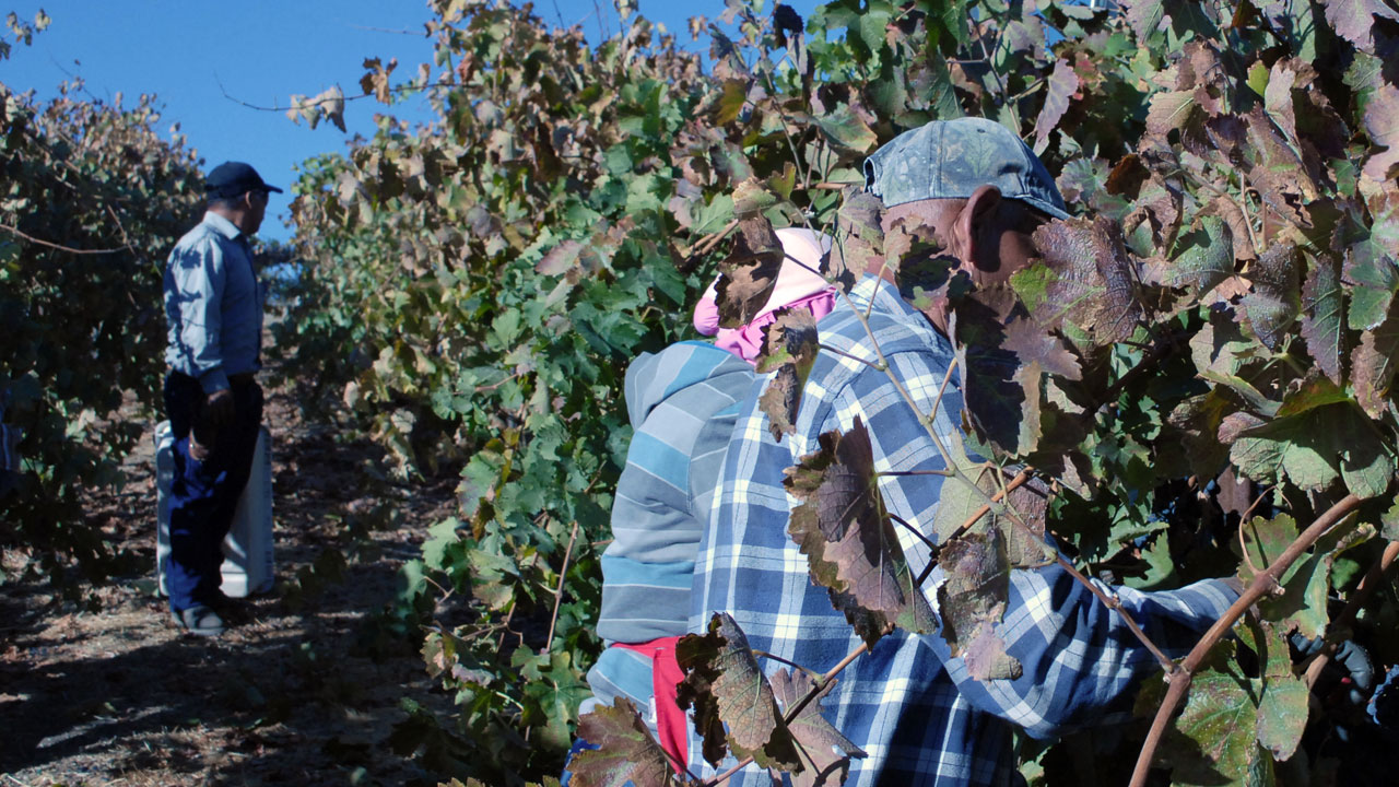 Harvest is underway in the vineyards of Paso Robles. Wine grapes grown there sell for up to $2,000 a ton, three times the state average. (Photo: Chris Richard)