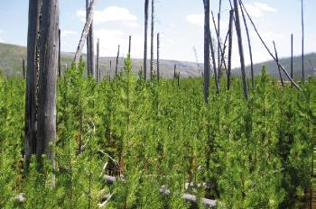 Lodgepole pines regrowing 15 years after the Yellowstone fire. (Photo: Monica Turner)
