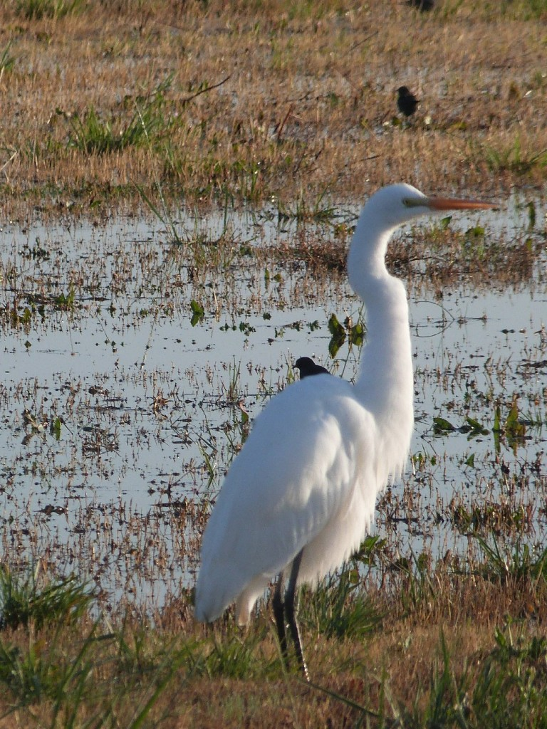 Wildlife-friendly agriculture benefits some 200 species of water-adapted birds, including the great egret. (Photo: Liza Gross)