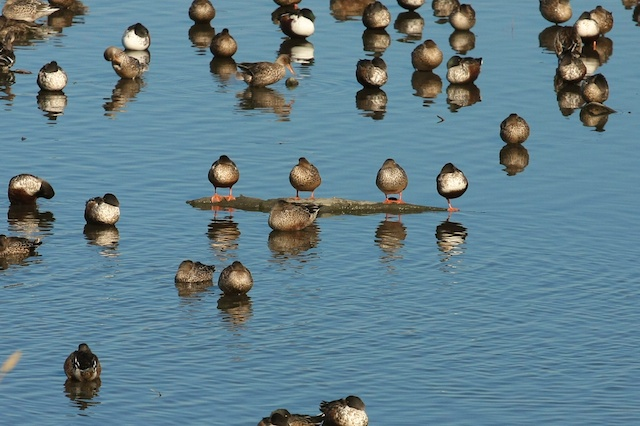Over two dozen duck species can be found in Palo Alto during Winter.   Photo by Rachael Rufino