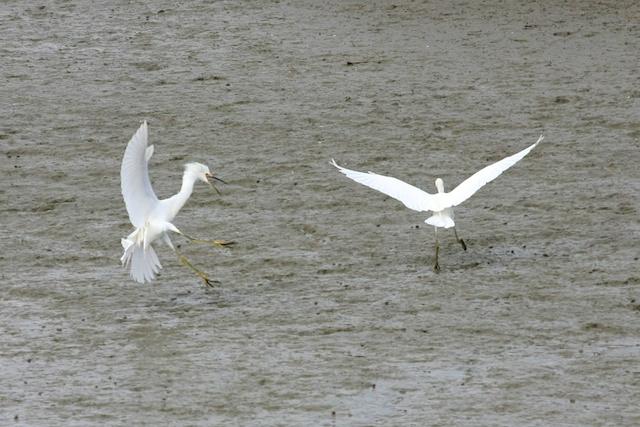 Two snowy egrets (Egretta thula) reestablish territory in Palo Alto.  Photo by Rachael Rufino