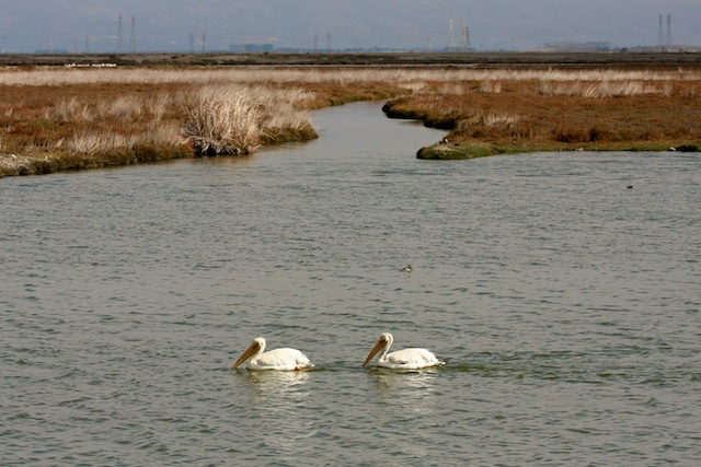 Two American white pelicans ( Pelecanus erythrorhynchos) pass one of many small channels in Palo Alto's wetlands.  Photo by Rachael Rufino