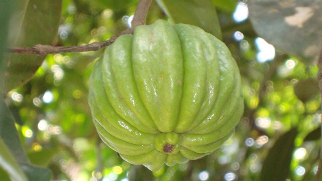 Garcinia Cambogia: The Fastest Fat-Buster or Another Fad Diet?
