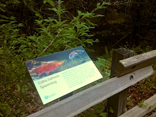 Signage at the Leo T. Cronin salmon viewing area, describing the natural history of the species. Photo by Rachael Rufino