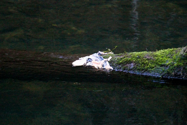 Likely remnants of a salmon that had arrived at the Leo T. Cronin viewing area to spawn and was eaten one of many predators in the area. Photo by Rachael Rufino