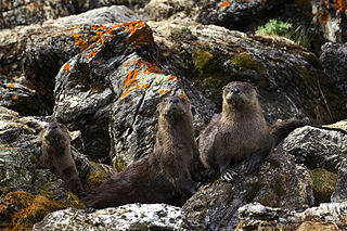 "River otters form social groups.  Photo by James ""Newt"" Perdue, USFWS (Wikimedia)"