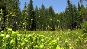 Butterfly Valley, located Plumas Nationa Forest, is one of the only protected cobra lily habitats. Photo by Josh Cassidy/KQED.
