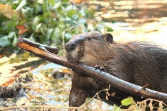 "Beavers are ""nature's engineers"" and a keystone species providing habitat for a diverse and rich ecosystem.  Photo by Cheryl Reynolds, Worth a Dam."