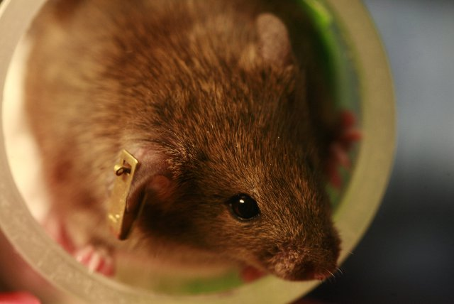 If this mouse's parent learned to fear a certain smell, then it might have inherited this fear via the parent's DNA.  Image courtesy of Wikimedia Commons.