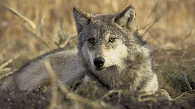 The gray wolf is currently protected under the Endangered Species Act. (John & Karen Hollingsworth/USFWS)