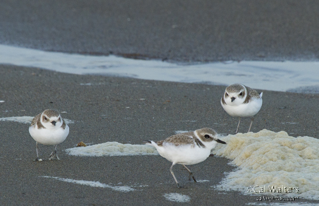 Snowy plovers forage along the tideline, using their excellent eyesight to hunt for small invertebrates.  Photo by Cal Walters.