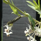 Milkweed is vital to monarch reproduction.  Caterpillars feed on the host plant which imparts a toxicity that protects them from predators.  Photo by Amon, Wikimedia Commons