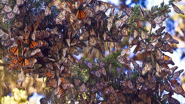 Overwintering monarch butterflies return year after year to California groves.  Photo taken in Pacific Grove, CA by agunther