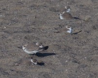 Snowy plovers camouflage with the sand, making them difficult for predators to find them.  Photo by Cindy Margulis.