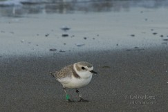 By identifying the bands on this snowy plovers legs, its movements could be tracked over nearly five years.  Photo by Cal Walters.